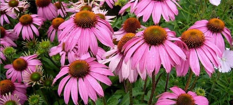 Planta medicinal echinacea