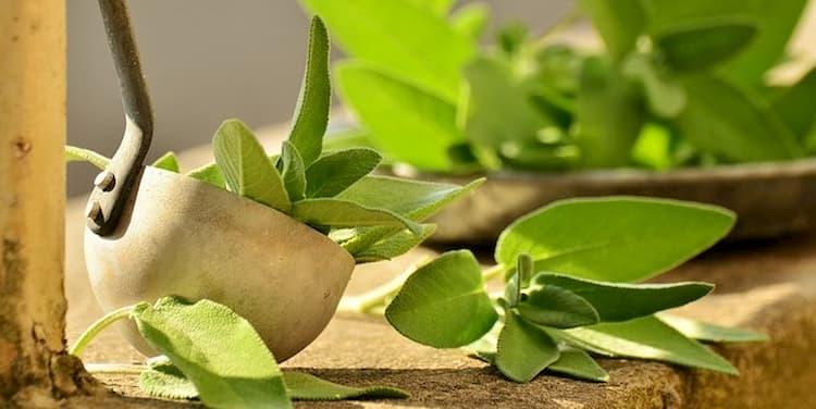 Sage planta medicinal